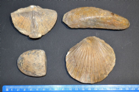 A very nice group of 4 x large Fossil Bi-valves / Brachiopods from an old Museum collection display.